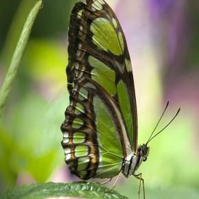 iPhone 5 Wallpaper: green butterfly