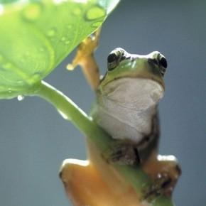 iPhone 5 Wallpaper: green frog